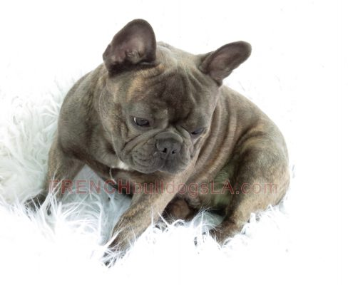 french-bulldog-for-sale-06